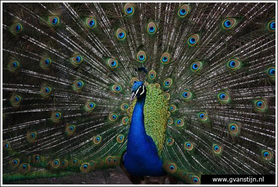 Coll2007-01 Geen inlandse vogel, dus hoort eigenlijk niet op de website thuis 170_9570.jpg