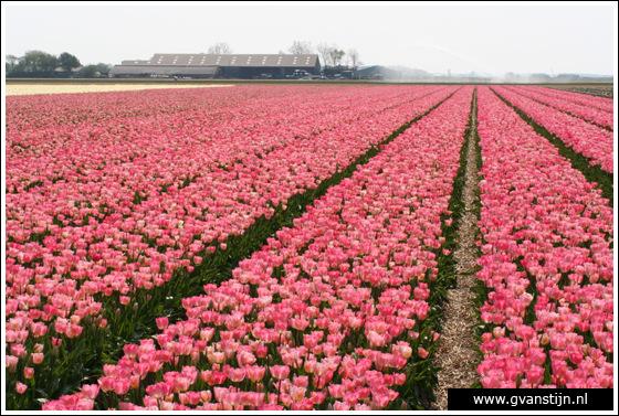Veld01 Bollenvelden Noord-Holland<br><br> IMG_1058.jpg
