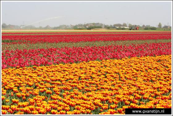 Veld02 Bollenvelden Noord-Holland<br><br> IMG_1090.jpg