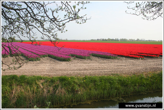 Veld02 Bollenvelden Noord-Holland<br><br> IMG_1106.jpg
