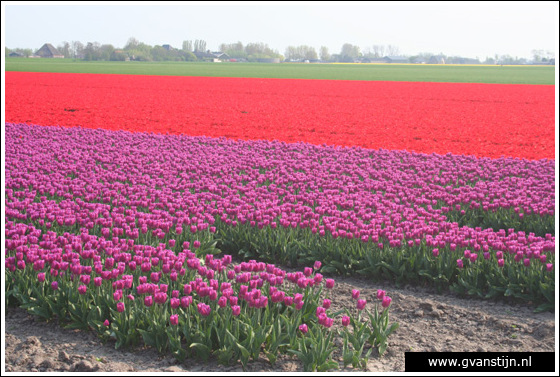 Veld02 Bollenvelden Noord-Holland<br><br> IMG_1111.jpg