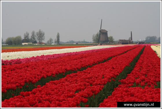 Veld02 Bollenvelden Noord-Holland<br><br> IMG_1129.jpg