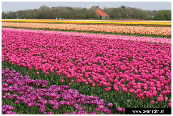 Veld02 Bollenvelden Noord-Holland<br><br> IMG_1154.jpg