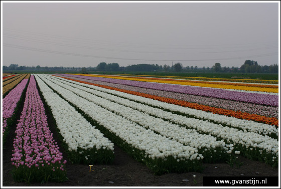 Veld03 Bollenvelden Noord-Holland<br><br> IMG_1195.jpg