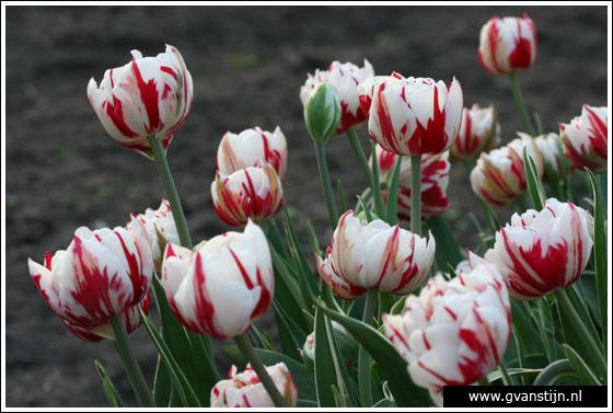 Veld03 Bollenvelden Noord-Holland<br><br> IMG_1199.jpg