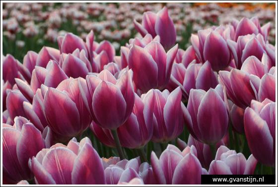 Veld03 Bollenvelden Noord-Holland<br><br> IMG_1203.jpg