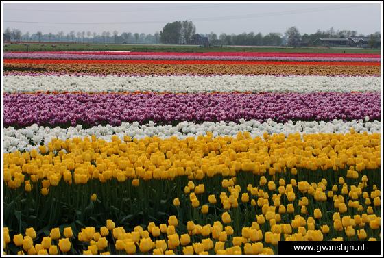 Veld03 Bollenvelden Noord-Holland<br><br> IMG_1213.jpg