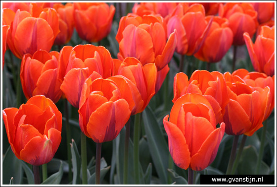 Veld04 Bollenvelden Noord-Holland<br><br> IMG_1222.jpg