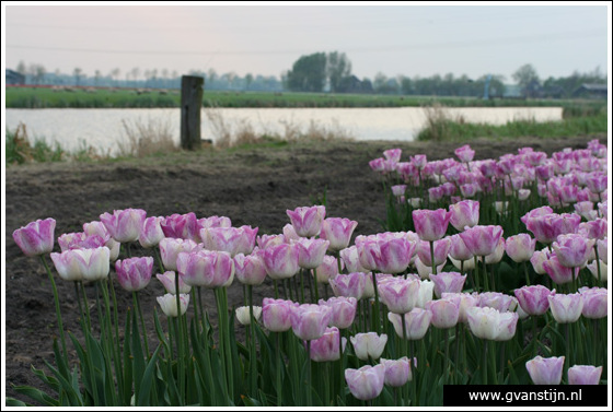 Veld04 Bollenvelden Noord-Holland<br><br> IMG_1225.jpg