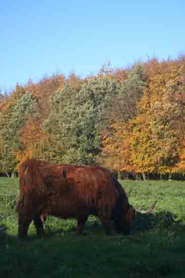 Herfsttinten-Bos Schotse Hooglanders in het Amsterdamse Bos<br><br> 2120_Herfst_Amsterdamse_Bos_Bovenkerk_2987.jpg