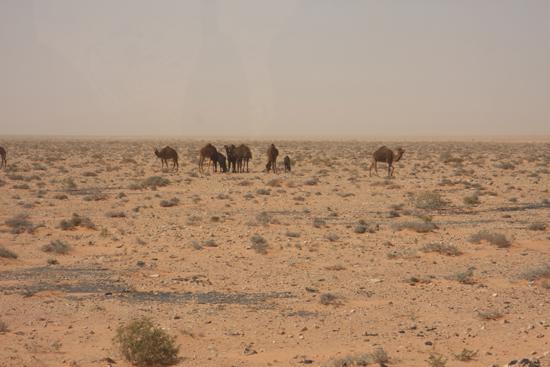 Siwa De eerste en ook enige kamelen in het wild die we in de Sahara hebben gezien 0490-Sahara-on-the-way-to-Siwa-2081.jpg