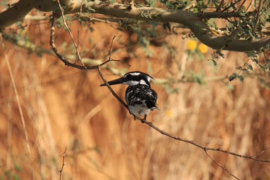 Elephantine1 IJsvogel<br>Vogelspotten rondom Elephantine Island  1620-Elephantine-Island-vogelspotten-3540.jpg