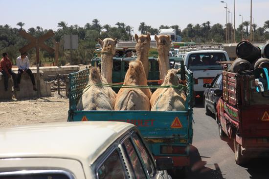 Luxor Kamelenvervoer<br>Onderweg naar Luxor 2130-Kamelenvervoer-4056.jpg