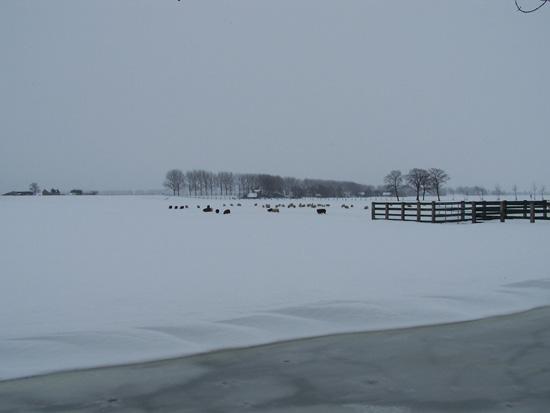 Kruiendijs Sneeuw in de Beemster 110-Schapen-in-de-Beemster-in-de-sneeuw-5102.jpg