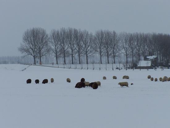 Kruiendijs Sneeuw in de Beemster 120-Schapen-in-de-sneeuw-5105.jpg