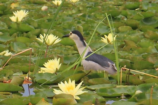 Srinagar2 Kwak met jong op de rug tussen de waterlelies<br><br> 1200a-Kwak-Nagin-Lake-Srinagar-3392.jpg