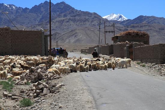 Matho Streetlife rond Leh - schaap- en geitenkuddes<br><br> 3340-Omgeving-Leh-4844.jpg