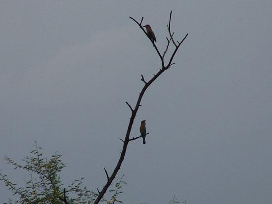Bharatpur Keoladeo vogelpark Bharatpur-Keoladeo-vogelpark_3771.jpg