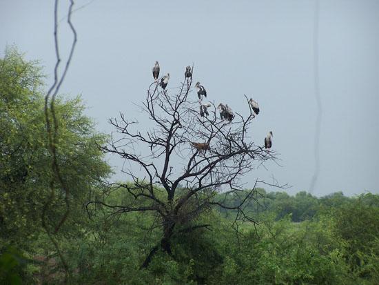 Bharatpur Vogelkolonie Vogelkolonie-Keoladeo-Park_3794.jpg