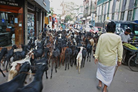Kolkata2 Goats in the centre of Calcutta on the way to ?? Geiten in het centrum op weg naar ?? 1870_4276.jpg