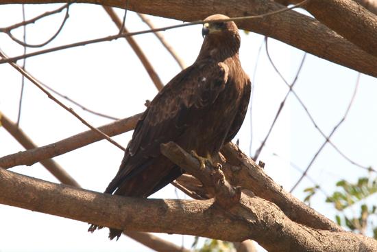 Adivasi-Tour1 Bird of prey near Chilika Lake Roofvogel bij het Chilika meer 2100_4402.jpg