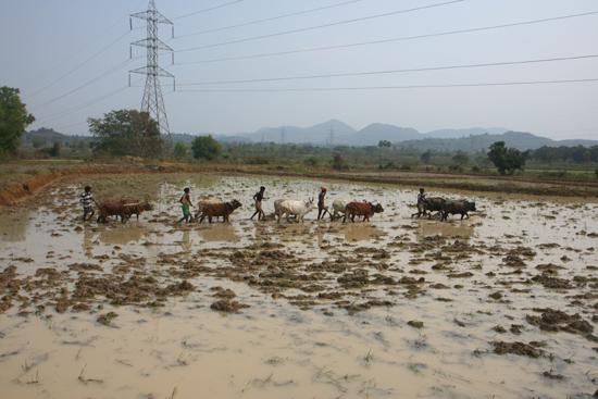 Adivasi-Tour2 Ploughing the rice-fields Het ploegen van de rijstvelden 2280_4538.jpg