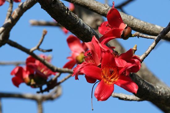 Adivasi-Tour7 Wild flower (bombax ceiba) Red silk Cotton Tree Indische kapokboomWild flower (bombax ceiba) Red silk Cotton Tree 3090_5307.jpg