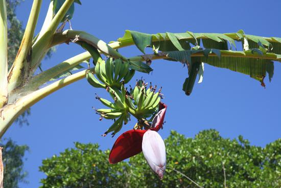 Adivasi-Tour7 Banana flower Bloeiende bananenplant 3130_5339.jpg
