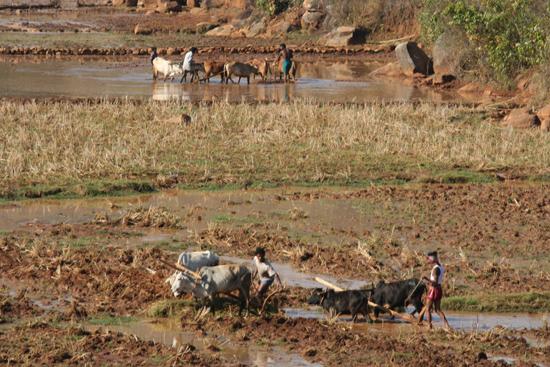 Adivasi-Tour8 Ploughing the rice-fields Ploegen van de rijstvelden 3290_5481.jpg