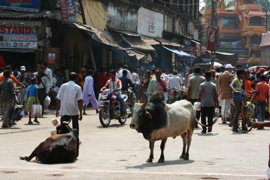 Puri Holy cows and bulls Heilige koeien en stierenForse exemplaren 3790_5937.jpg