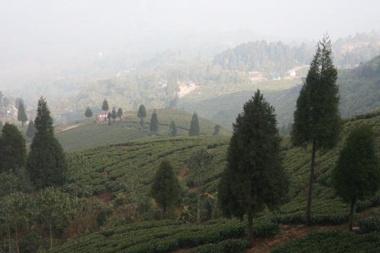 Darjeeling Theeplantages<br><br> 0170_3421.jpg