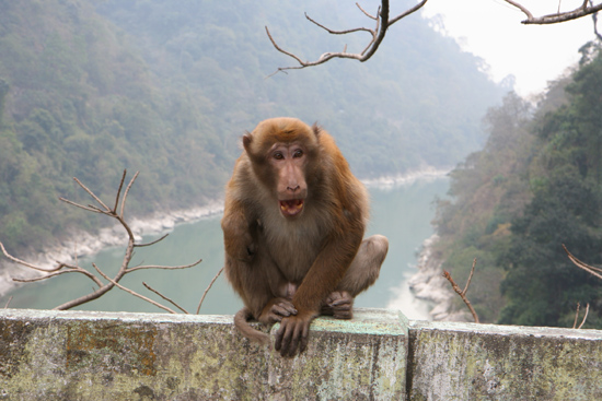 Siliguri Beetje agressieve aap met Bokito-neigingen op de brug<br><br> 1350_4239.jpg