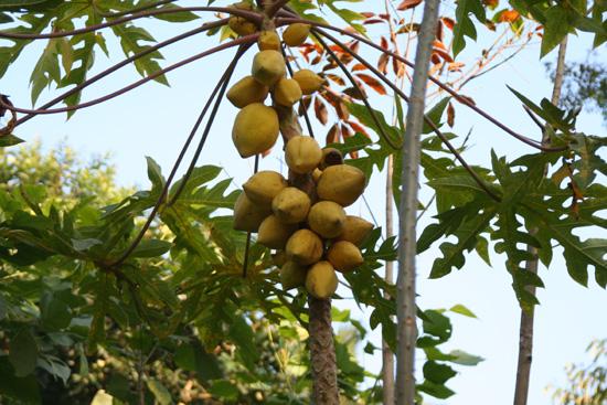 Periyar Papaya IMG_6948.jpg