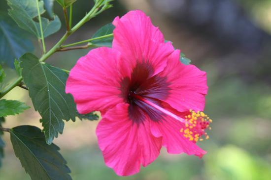 Periyar Hibiscus IMG_6950.jpg