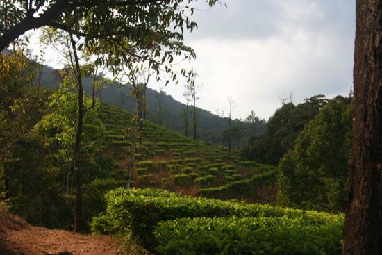Madikeri Theeplantages rondom Madikeri IMG_8316.jpg