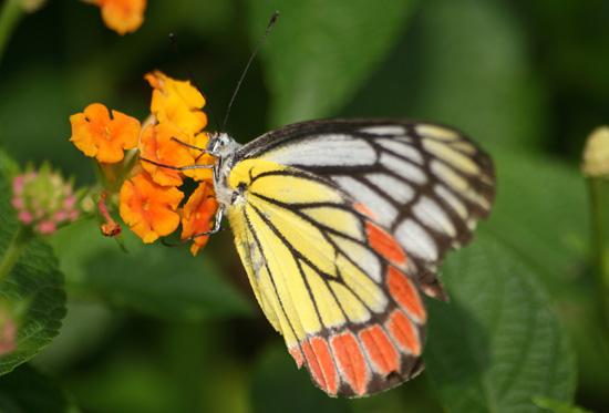Mumbai Hangende tuinen Mumbai: weinig bloemen maar veel vlinders IMG_9524ps.jpg