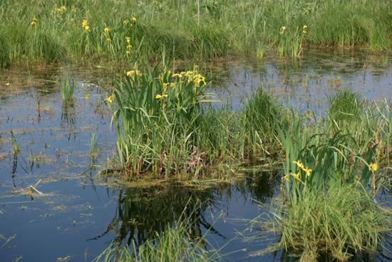 Macro04 Zwanenwater bij Callantsoog<br><br> Zwanenwater-4233.jpg
