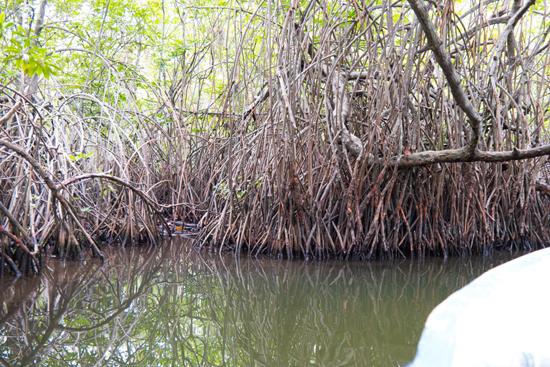 Balapitiya Boottocht op de Madu rivier  Mangrove bomen-0160