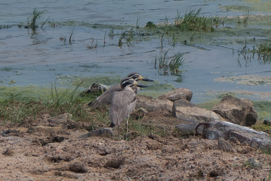 Yala National Park Great stone-curlew -1020