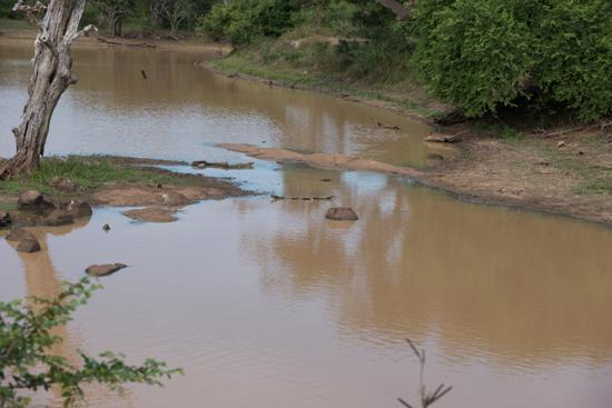 Yala National Park Er zou een krokodil zichtbaar moeten zijn..-1150