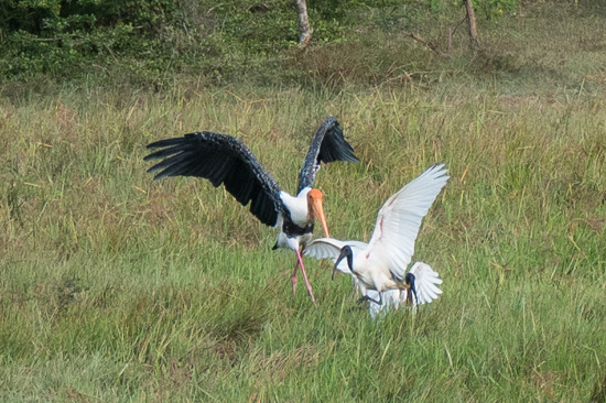 Yala National Park Ruzie tussen Painted Stork en Black headed ibis-1180