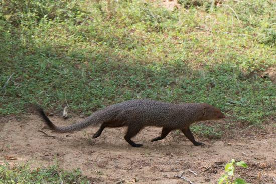 Yala National Park Mangoest-1200