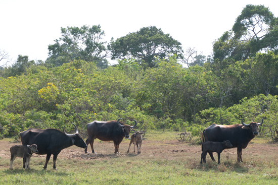 Yala National Park Buffels-1220