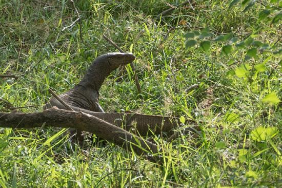 Yala National Park Indische varaan (Varanus salvator)-1240