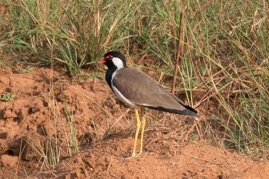 Yala National Park Yellow-wattled Lapwing Vanellus malabaricus-1280