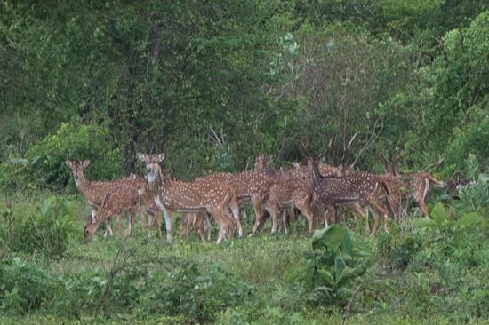 Udawalawe National Park Mooie roedel Axis herten-1420