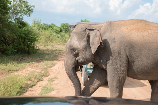 Udawalawe National Park We verlenen toch maar even voorrang-1540