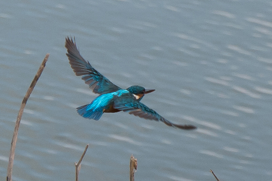 Udawalawe National Park IJsvogel vliegend, was me nog nooit gelukt om ze vliegend of duikend te fotograferen.-1580