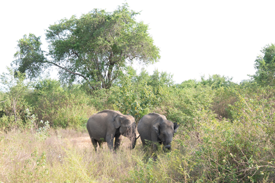 Udawalawe National Park-1610