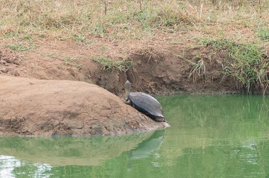 Udawalawe National Park Schildpad-1630